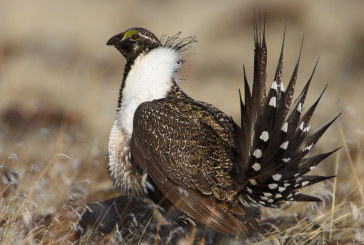 Off-Roaders Welcome Decision Not to List Greater Sage Grouse as Endangered Species
